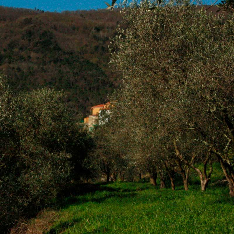 Oliveto del Frantoio Tavian